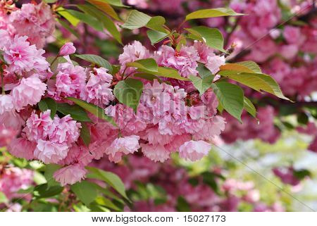 Beautiful kwanzan cherry tree in full bloom.  Closeup with shallow dof.