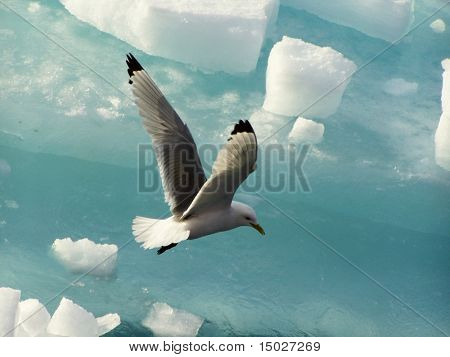 Gull in the Arctic