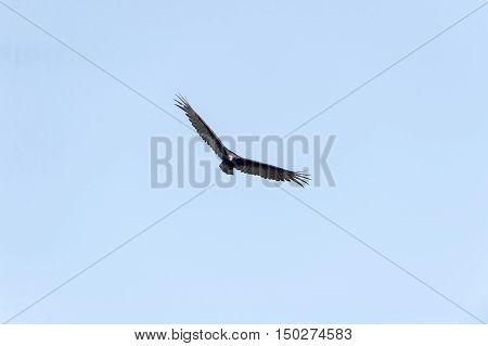 Head-on view of Turkey Vulture in flight