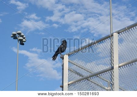 Black American crow (Corvus brachyrhynchos) perched on fence of empty baseball stand against slightly cloudy blue sky