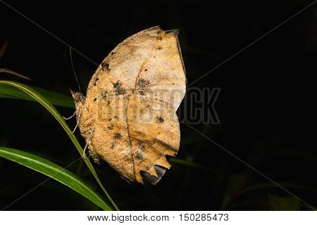 Leafwing Butterfly Bears