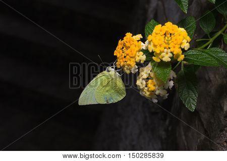 Lemon Emigrant, Catopsilia Pomona Butterflies On Brilliant Lantana.