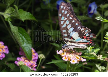 Close Up Of Tailed Jay (graphium Agamemnon) Butterfly On Brilliant Lantana