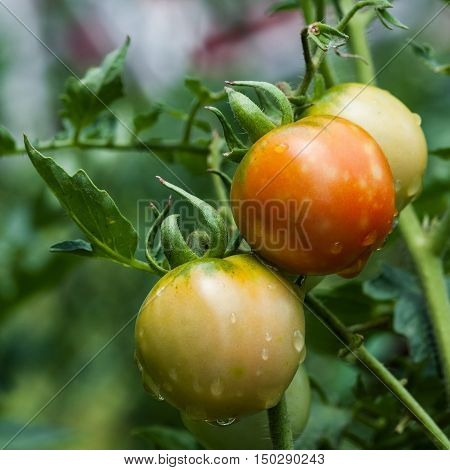 Homegrown organic tomatoes in the vine square agriculture