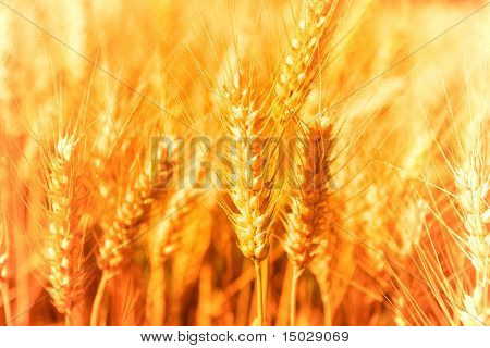 Golden glowing wheat field in Germany