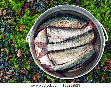 Fresh fish in iron bowl ready for cooking. Closeup.