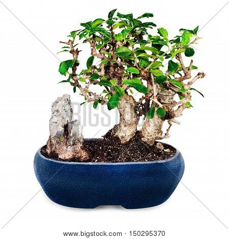 Miniature bonsai tree and stone in blue pot isolated on white background.