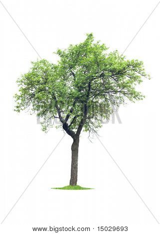 Tree isolated on white