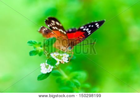 Scarlet Peacock anartia amathea buterfly green background