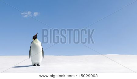 Penguin standing in Antarctica looking into the blue sky.