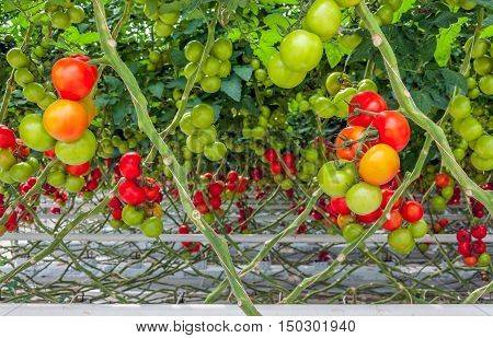 Red orange and green vine tomatoes growing on substrate in a Dutch greenhouse.