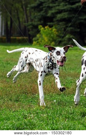 Grown Dalmatian puppy running around and playing in summer Park dogs chasing each other