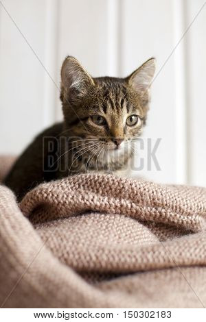 Cute gray striped kitten sitting in a cozy knitted blanket in bright white room. A small defenseless pet cat
