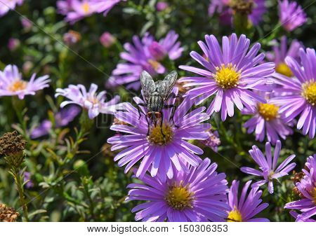 Fly Drinking Nectar On A Light Purple Flowers