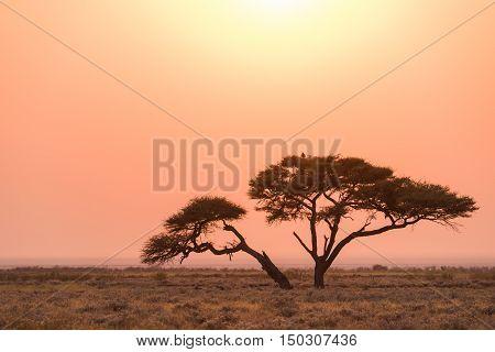 Etosha Acacia Tree Sunrise Etosha National Park Namibia