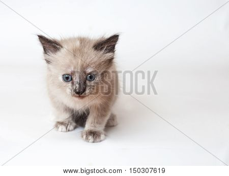A Neva-Masquerade kitten sitting on the bed