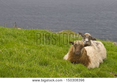 A brown sheep ram on the blue sea and grass background