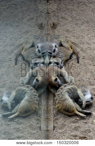 It is time for a nap for those little suricates, part of the mongoose's family