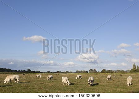 white cows in flanders meadow between gent and brugge in belgium on sunny summer day