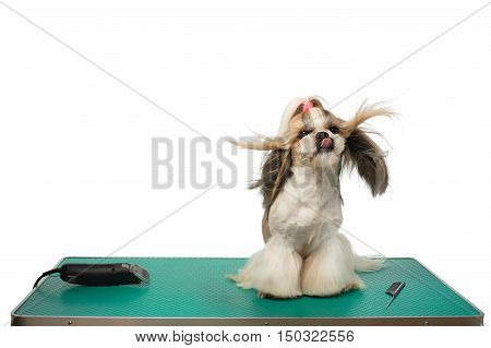 Beautiful funny shih-tzu dog at the groomer table with comb and razor with wind in it's hair - isolated on white