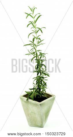 Fresh Long Leafs Rosemary in Grey Flower Pot isolated on White background
