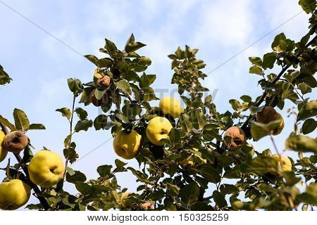 Yellow ripe and rotten quince on a tree in Moldova