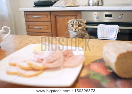 The Scottish lop-eared gray cat beautiful view, sad eyes, asking to eat, looking at the sausage