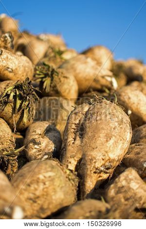 Sugar Beet Close Up. Pile Of Organic Sugar Beet At The Field After Harvest.