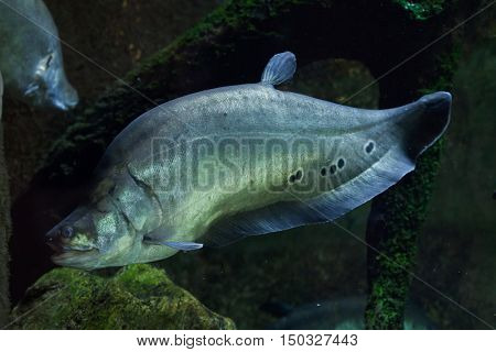 Clown knifefish (Chitala ornate), also known as the spotted knifefish. Wildlife animal.