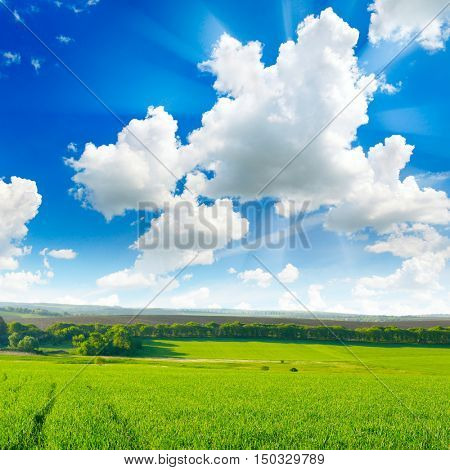 Spring field with wheat and a bright blue sky.