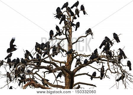 tree which beset crows, birds of Odin, Norse mythology, sagas, Corvus frugilegus