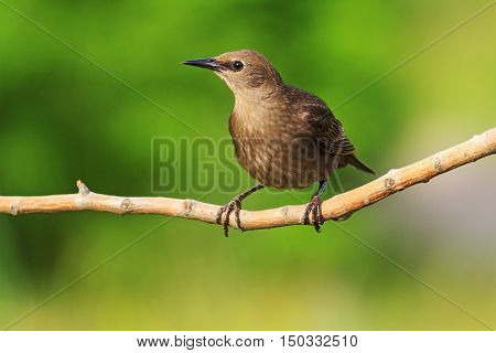Starling sits on a branch on a green background on a sunny day, black bird, illustration summer
