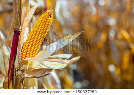 one mature yellow cob of sweet corn on the field. Collect corn crop.