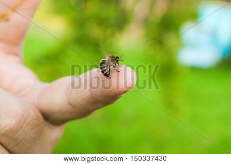 Bee Stinging In The Human Finger Of The Hand.