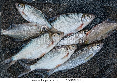 Pile Of Freshwater Common Bream Fish And Silver Bream Or White Bream Fish On Green Grass As Backgrou