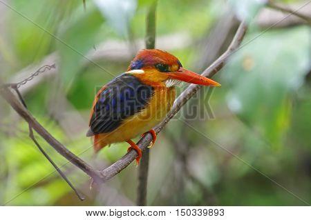 Oriental Dwarf Kingfisher Ceyx erithaca Birds of Thailand