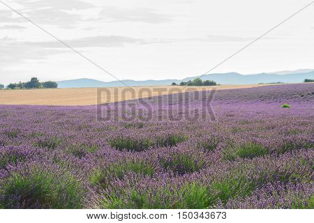 landscape of plateau Valensol with Lavender flowers blooming field, Provence, France