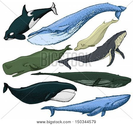 Set of hand drawn whales include blue whale, finback, orca, killwhale, humpback, sperm whale, bowhead