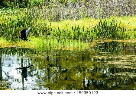 waterfowl wading in the swampy waters of a marsh