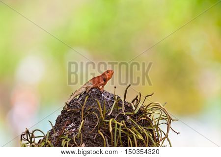 Oriental Garden Lizard on a termite mound