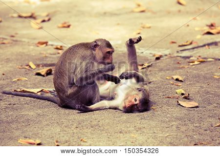 Monkeys checking for fleas and ticks in the park processed in vintage style