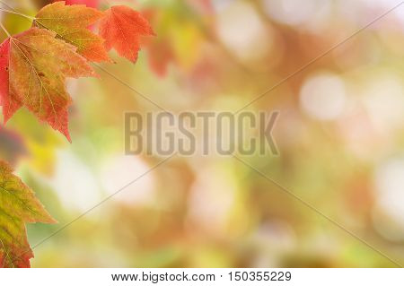 Brilliant Red Maple Leaves arrayed against a Blurred Background