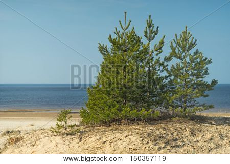 Young green fir on a yellow sandy beach of the Baltic Sea in the spring on a sunny day. Latvia