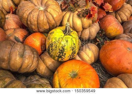 Pumpkins for fall autumn Halloween background. Pumpkin patch in a field of straw.
