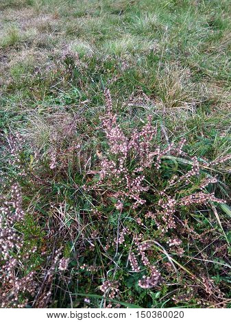 bush pink blooming heather on the field