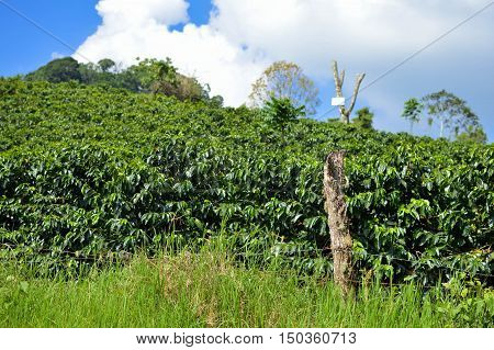 Close up of the lush green coffee trees from the plantations in the highlands of Honduras. Shallow DOF landscape