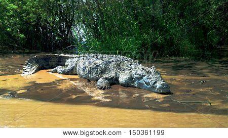 The Nile crocodile in Chamo lake Nechisar national park Ethiopia
