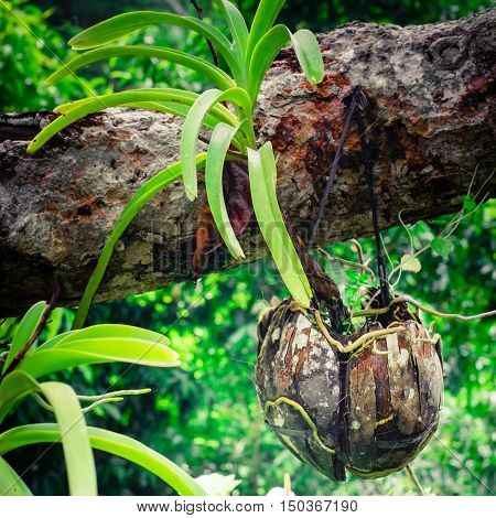 Tropical orchid growing in dried coconut pot in rainforest. Traditional asian gardening