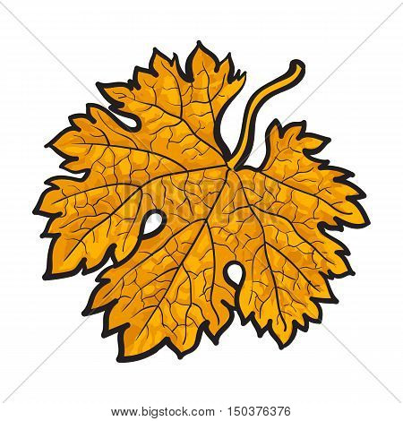 Beautiful yellow colored autumn maple leave, vector illustration isolated on white background. Botanical drawing of a yellow maple leaf, fall season, autumn decoration element