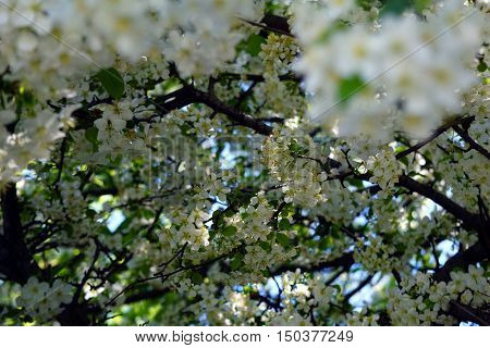 Blossoms of a Callery pear tree (Pyrus calleryana), also called the Bradford flowering pear, blooming in Illinois during May.